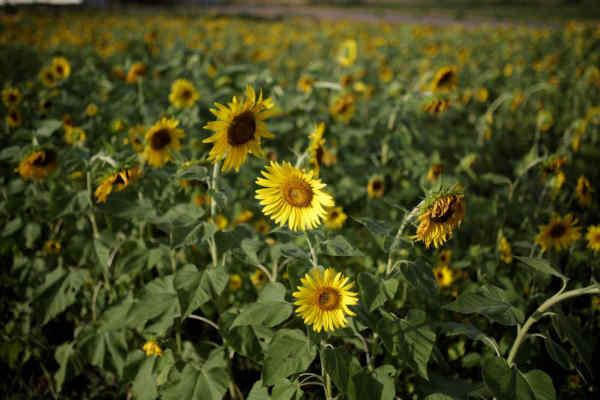 Україна стала світовим лідером з експорту соняшникової олії