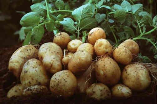 Україна вперше змушена закуповувати картоплю в серпні: ціни за рік зросли вдвічі