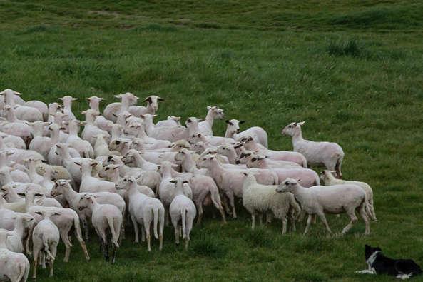 Вівці мої, вівці...