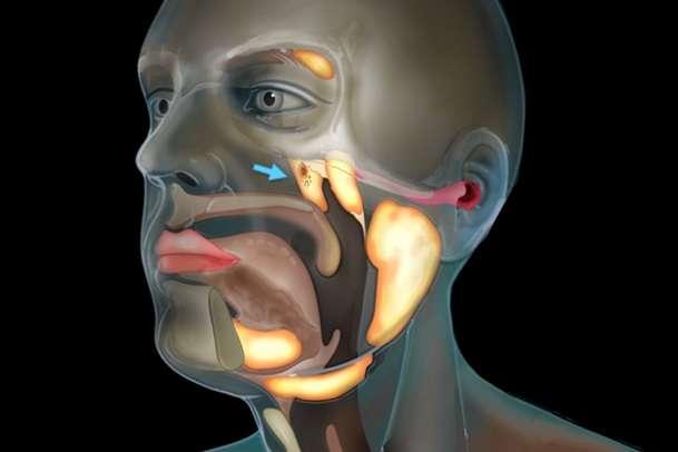 Вчені виявили в голові людини невідомий науці орган
