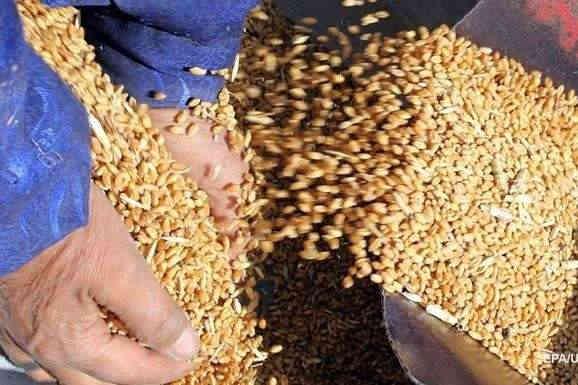На Чернігівщині «миші з'їли» 600 тонн зерна Держрезерву