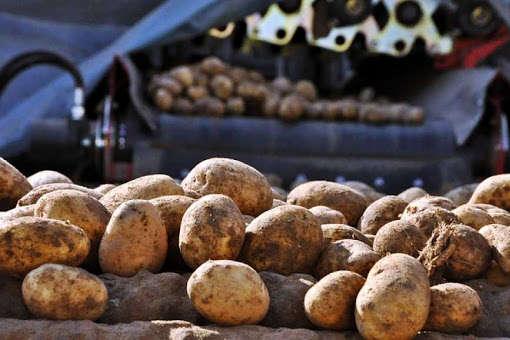 Картоплі та інших овочів цьогоріч в Україні буде менше