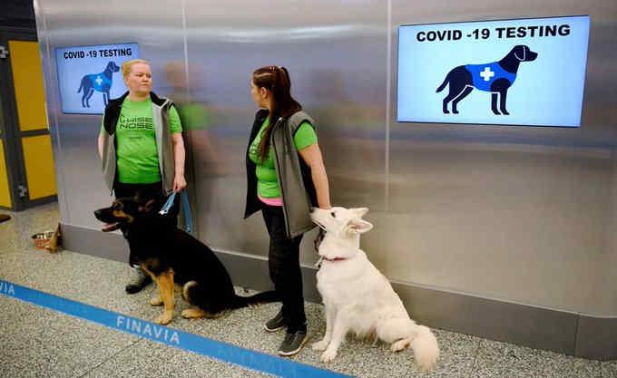 Науковці повідомили, що собаки виявляють коронавірус швидше за ПЛР-тести