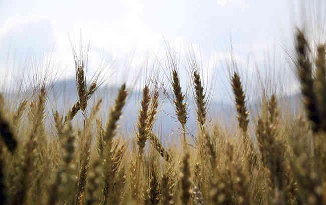 В Україні вже зібрали рекордний за всю історію врожай зернових